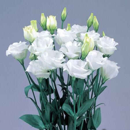 Еустома грандіфлора ABC 3 White (біла)