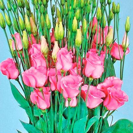 Еустома грандіфлора ABC 2 Misty Pink (рожева)
