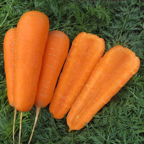 Морковь Боливар F1 - cреднеспелый гибрид моркови Нантского типа, форма Шантанэ. Растение имеет мощную ботву, с плотным креплением к корнеплоду. Плоды обычной конической формы с округлением в конце. Высокий выход товарной продукции. Подходит для позднего выращивания и хранения.